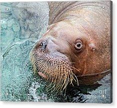 The Walrus Acrylic Print by Billie-Jo Miller