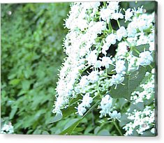 The White Bloom Acrylic Print by Rachel Snell