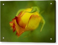 The Yellow Rose Acrylic Print