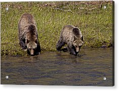 Acrylic Print featuring the photograph Thirsty Grizzlies by J L Woody Wooden