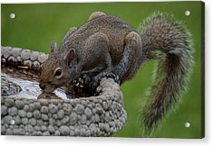 Thirsty Squirrel  Acrylic Print