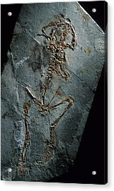 This 124 Million Year Old Frog Fossil Acrylic Print by O. Louis Mazzatenta