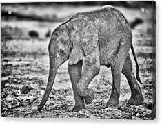 This Is Botswana No.  6 - Wait Up Mother Acrylic Print by Paul W Sharpe Aka Wizard of Wonders