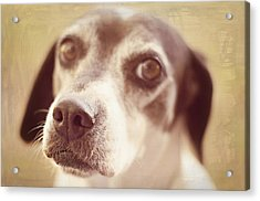 This Nose Knows Acrylic Print by Susan Bordelon