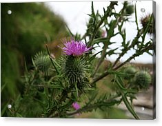 Acrylic Print featuring the photograph Thistle Bloom by Lorraine Devon Wilke