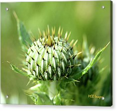 Acrylic Print featuring the photograph Thistle Bud by Margaret Buchanan