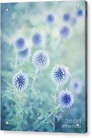 Thistle Dreams Acrylic Print by Priska Wettstein