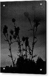 Thistles Acrylic Print by Hakon Soreide
