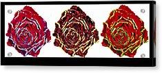 three colors of roses I Acrylic Print by Branko Jovanovic