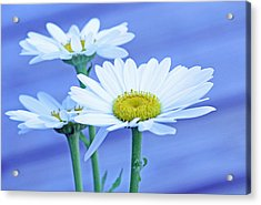 Three Daisies Acrylic Print by Becky Lodes