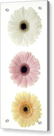 Three Gerber Daisies Acrylic Print by Brad Rickerby