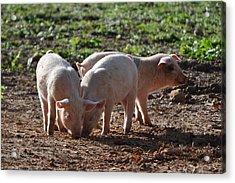 Three Little Pigs Acrylic Print by Tammy Price