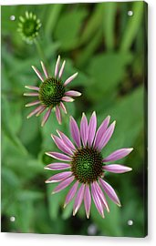 Three Stages Of A Coneflower Acrylic Print