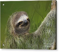 Three-toed Sloth Acrylic Print by Heiko Koehrer-Wagner