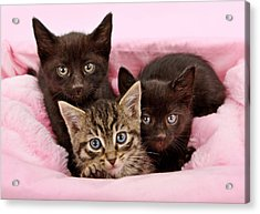 Threee Kittens In A Pink And White Basket Acrylic Print by Susan Schmitz