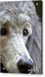 Through Dusty's Eyes Acrylic Print by Maria Urso