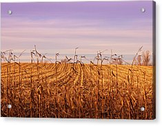 Acrylic Print featuring the photograph Through The Cornfield by Rachel Cohen