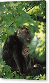 Tibetan Macaque Nursing Baby Acrylic Print by Cyril Ruoso