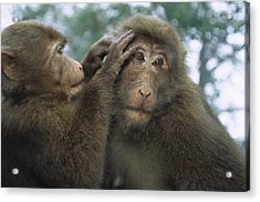 Tibetan Macaques Grooming Acrylic Print by Cyril Ruoso