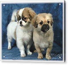 Tibetan Spaniel Pups Acrylic Print by Maxine Bochnia