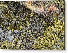 Tidal Pool With Rockweed Acrylic Print by Ted Kinsman