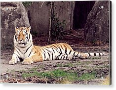 Acrylic Print featuring the photograph Tiger 1 by Denise Moore