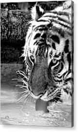 Tiger At The Watering Hole Acrylic Print by Tracie Kaska