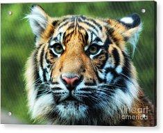 Tiger Acrylic Print by Billie-Jo Miller