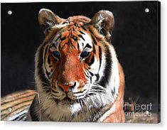 Tiger Blue Eyes Acrylic Print