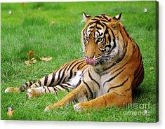 Tiger Acrylic Print by Carlos Caetano