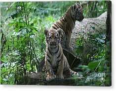 Tiger Cubs Acrylic Print by Carol Wright
