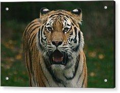 Tiger Acrylic Print by David Rucker