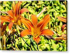 Tiger Lily 01 Acrylic Print