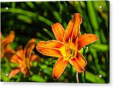 Tiger Lily 02 Acrylic Print