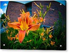Tiger Lily 05 Acrylic Print