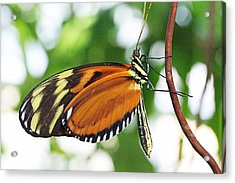 Tiger Longwing Butterfly Acrylic Print by Becky Lodes