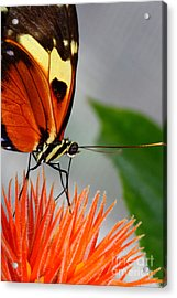 Tiger Longwing Butterfly  Acrylic Print