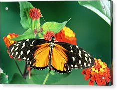 Tiger Longwing Heliconius Hecale Acrylic Print by Michael & Patricia Fogden