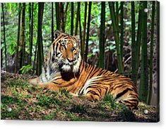 Tiger Rest And Bamboo Acrylic Print by Sandi OReilly
