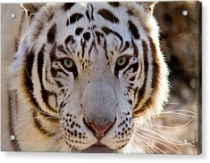 Tiger Stripes Exotic Animal Sanctuary 8 Acrylic Print by Dan Wells