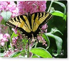 Tiger Swallowtail Butterfly Acrylic Print by Randi Shenkman
