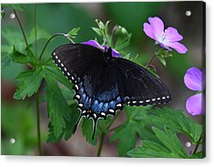 Acrylic Print featuring the photograph Tiger Swallowtail Female Dark Form On Wild Geranium by Daniel Reed