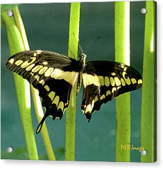 Acrylic Print featuring the photograph Tiger Swallowtail by Margaret Buchanan