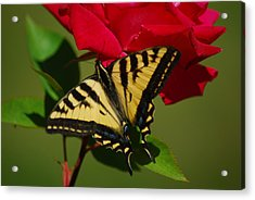 Tiger Swallowtail On A Red Rose Acrylic Print