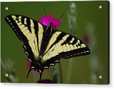 Tiger Swallowtail On Pink Acrylic Print
