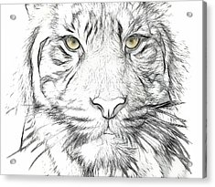 Tiger Acrylic Print by Tilly Williams