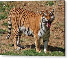 Tiger Yawn Acrylic Print by Alexander Spahn