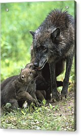 Timber Wolf Canis Lupus Mother Acrylic Print by Konrad Wothe