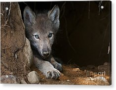 Timber Wolf Pup In Den Acrylic Print by Michael Cummings