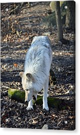 Timber Wolf Yawn Acrylic Print by Quin Bond